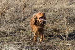 Spaniel barking in the dry grass Royalty Free Stock Photo