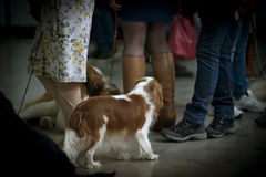 Spaniel behind crowd of people (soft focus) Royalty Free Stock Image