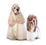 Spaniel and biewer dog Stock Photo