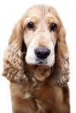 Spaniel, cane Fotografia Stock Libera da Diritti