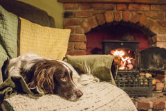 Spaniel on chair. An English springer spaniel laying on a chair by a fire stock images