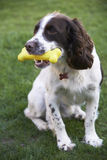 Spaniel Chewing Rubber Toy Bone In Garden Stock Image
