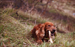 Spaniel chewing on a stick Royalty Free Stock Photography