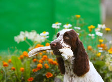 Spaniel close-up portrait with prey in the teeth Stock Images