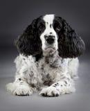 Spaniel cocker dog. Black and white spaniel cocker dog in studio Royalty Free Stock Photos