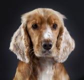 Spaniel Cocker. Portrait head on in studio Stock Images
