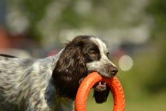 Spaniel da caça do russo Cão energético novo em uma caminhada Educação dos cachorrinhos, cynology, treinamento intensivo de cães  imagens de stock royalty free