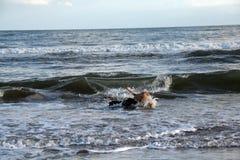 Spaniel de Boykin e laboratório amarelo que jogam no oceano como correm longe de uma grande onda na praia em Charleston South Car Imagens de Stock Royalty Free