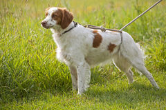 Spaniel de Brittany no campo Imagens de Stock Royalty Free