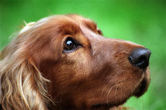 Spaniel de Cocker Foto de Stock Royalty Free