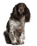 Spaniel de Cocker americano com cabelo windblown fotografia de stock royalty free