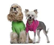 Spaniel de Cocker americano e cães com crista chineses Foto de Stock Royalty Free