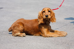 Spaniel de cocker da raça do cão que encontra-se no pavimento fotografia de stock