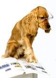 Spaniel de Cocker inglês Fotos de Stock