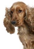 Spaniel de Cocker inglês com cabelo no vento Imagens de Stock Royalty Free