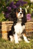 Spaniel de rei descuidado Charles do cão foto de stock royalty free