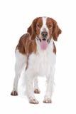 Spaniel de Springer imagens de stock royalty free