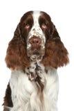 Spaniel de Springer inglês. Retrato do Close-up Fotografia de Stock