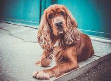 Spaniel del cane Immagini Stock