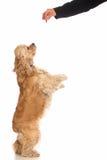 Spaniel di Cocker americano Fotografia Stock
