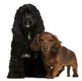 Spaniel di Cocker e cucciolo americani del dachshund Immagini Stock Libere da Diritti