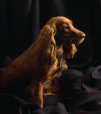 Spaniel di cocker rosso su priorità bassa nera fotografia stock