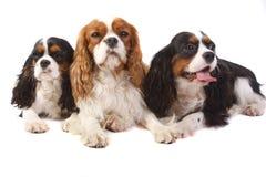 Spaniel di re charles sprezzante delle tre razze del cane Fotografie Stock