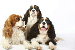 Spaniel di re charles sprezzante delle tre razze del cane Fotografie Stock Libere da Diritti