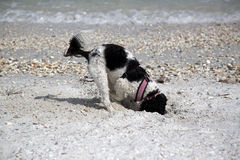 Spaniel digging in sand. Stock Photography