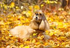 Spaniel do bom, cão vermelho, desgrenhado que encontra-se nas folhas de outono imagens de stock