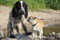 Spaniel do russo de dois cães, chihuahua imagens de stock