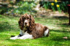 Spaniel dog Royalty Free Stock Photography