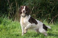 Spaniel dog. Royalty Free Stock Photo