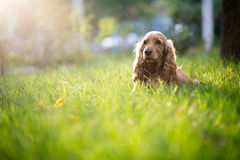 Spaniel dog breed is in the grass under sunlight. Spaniel dog breed is in the green grass under sunlight Stock Photos