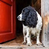 Spaniel dog Royalty Free Stock Images