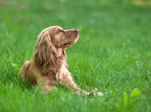 Spaniel dog in the grass Royalty Free Stock Photography