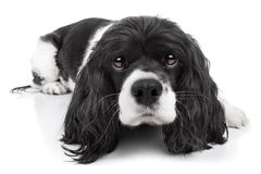 Spaniel Dog Isolated. On white royalty free stock photo