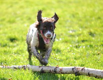 Spaniel dog jumping tree royalty free stock images
