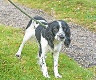 Spaniel dog on a lead. Royalty Free Stock Photos