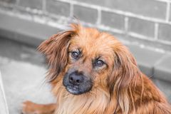 Spaniel dog living in belgium royalty free stock photos