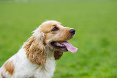 Spaniel dog looking sideways Royalty Free Stock Photography