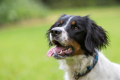 Spaniel Dog. A spaniel dog posing in a field royalty free stock image