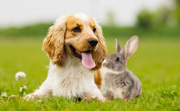 Spaniel dog And rabbit Royalty Free Stock Image