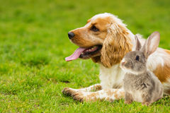 Spaniel dog And rabbit Royalty Free Stock Photography