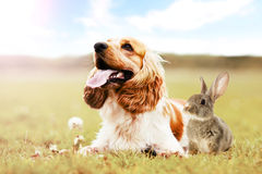 Spaniel dog And rabbit outdoors Stock Images