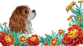 Spaniel dog realistic marigold. Realistically painted in vector head Cavalier King Charles spaniel dog framed by marigold garden flowers and leaves invitation Royalty Free Stock Images