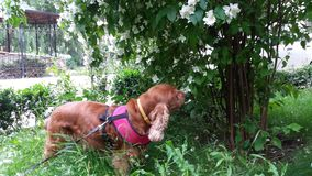Spaniel dog smelling jasmine flowers stock images