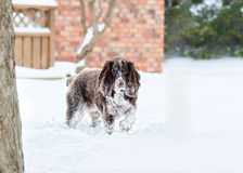Spaniel dog in the snow Stock Photos