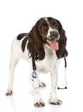 Spaniel dog with a stethoscope on his neck. Royalty Free Stock Photography