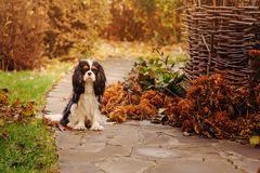 Spaniel dog walking in november garden. Late autumn view with rustic fence and stone pathway stock photography